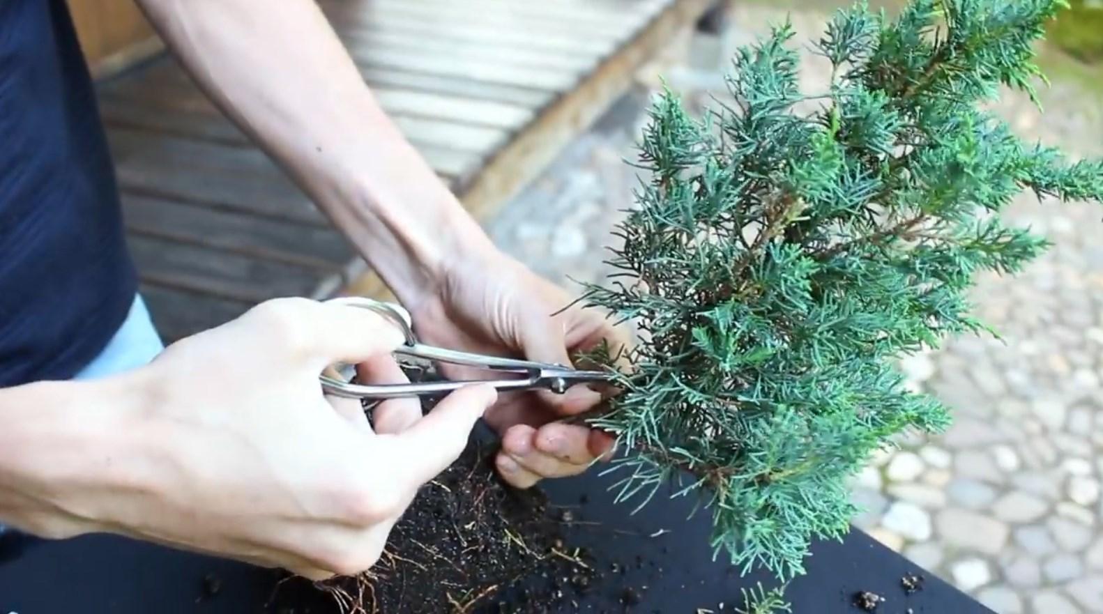 07.-Como-crear-un-bonsai-de-enebro-limpieza-3.jpg