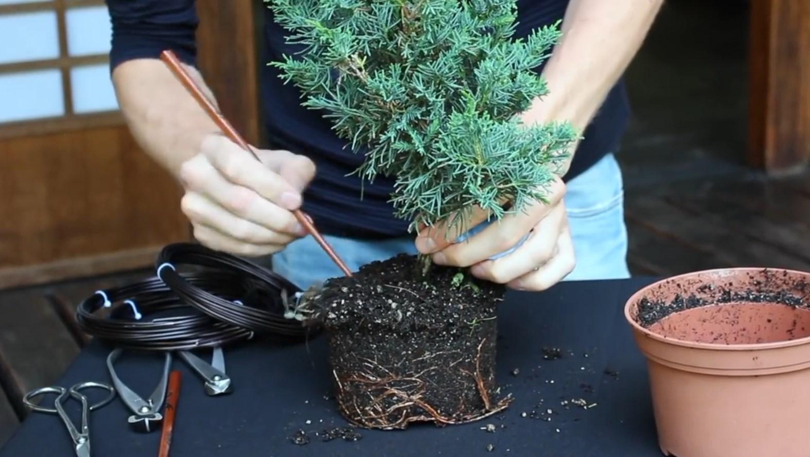 07.-Como-crear-un-bonsai-de-enebro-limpieza-1.jpg