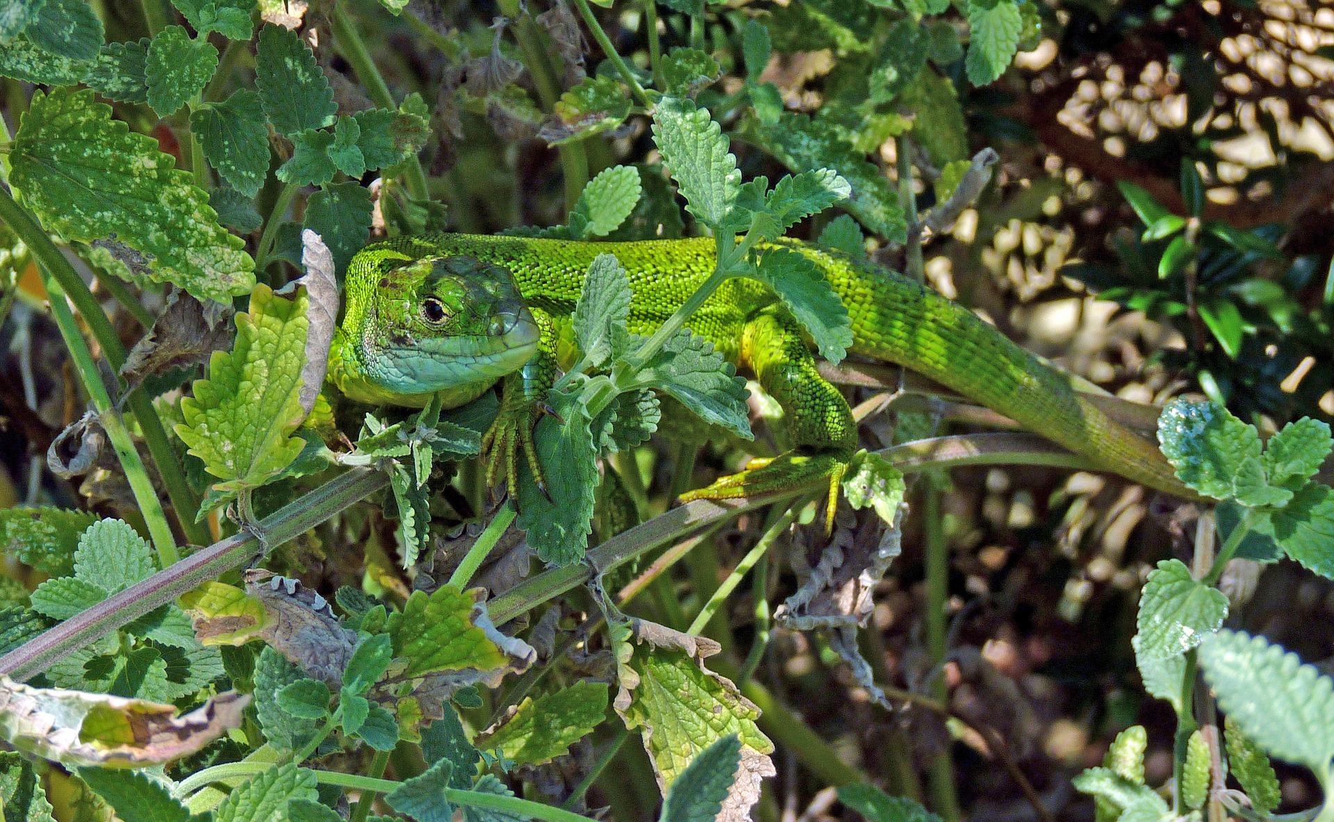 green-lizard-1762556_1920pixabay.jpg