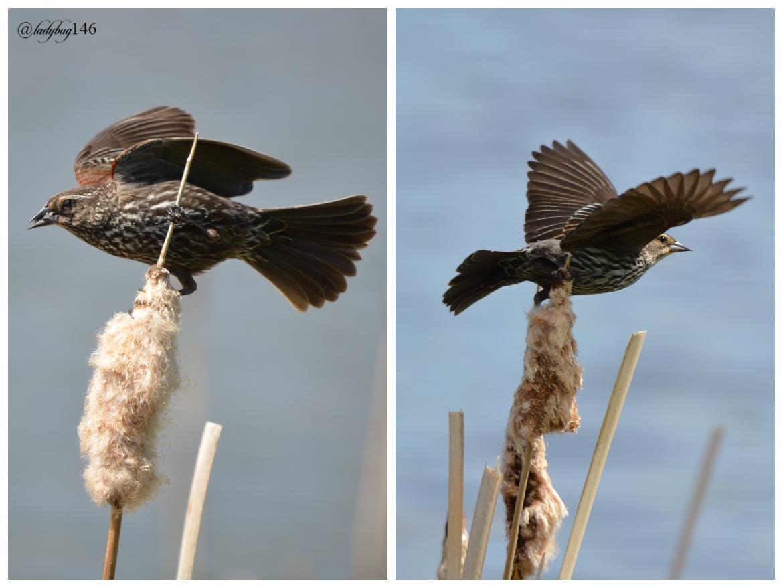 red-winged blackbird .jpg