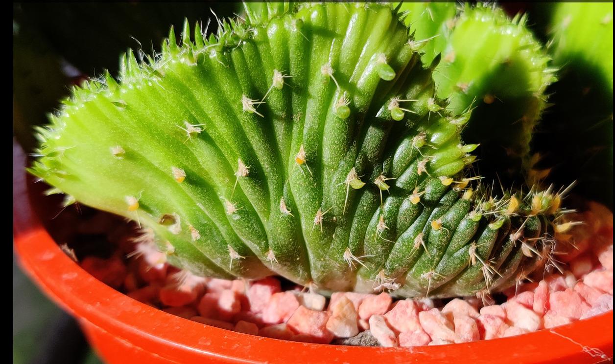 macrocactus.jpeg