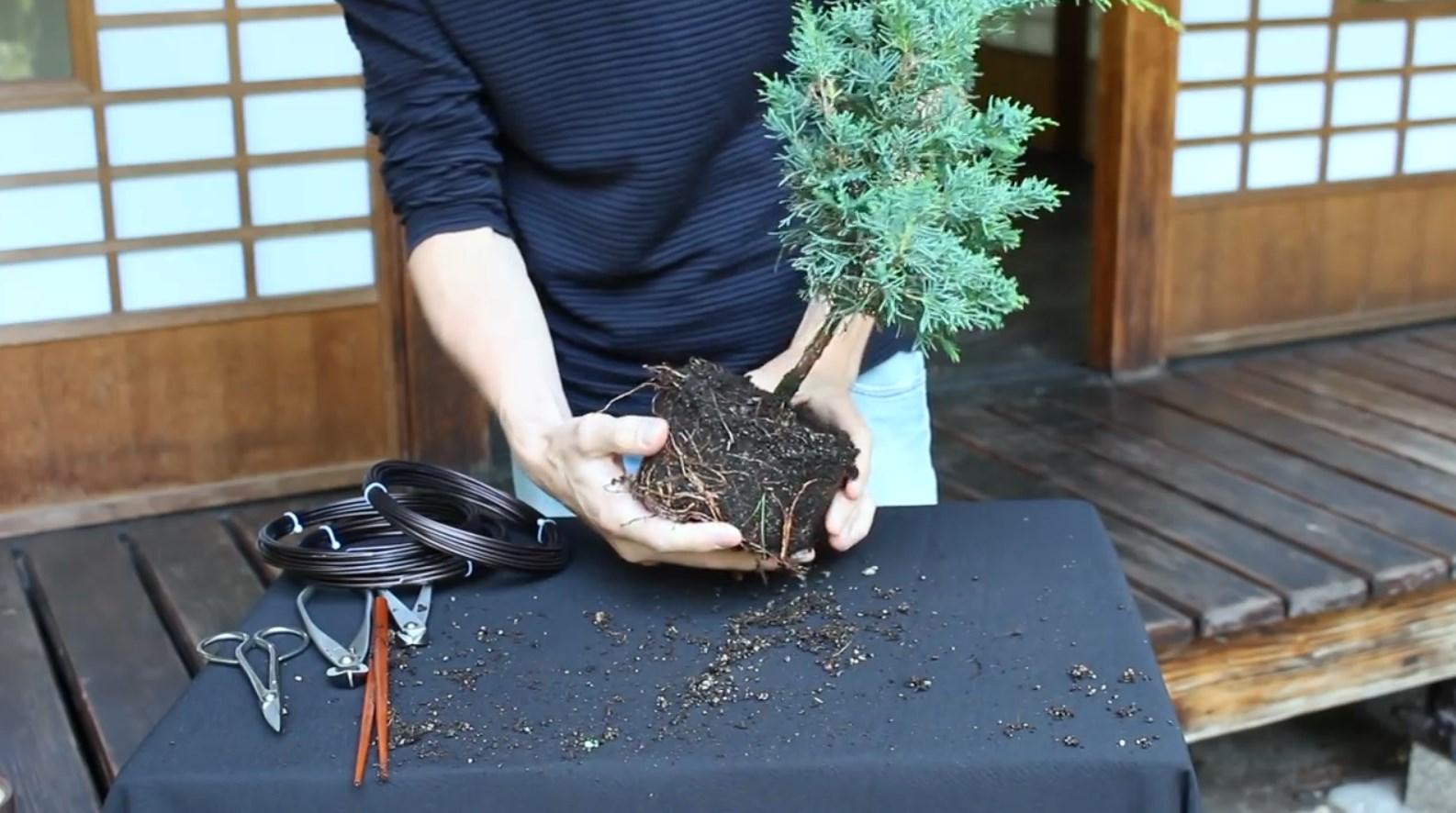 07.-Como-crear-un-bonsai-de-enebro-limpieza-2.jpg
