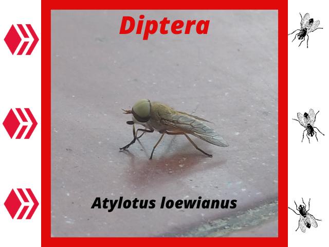 Diptera.png