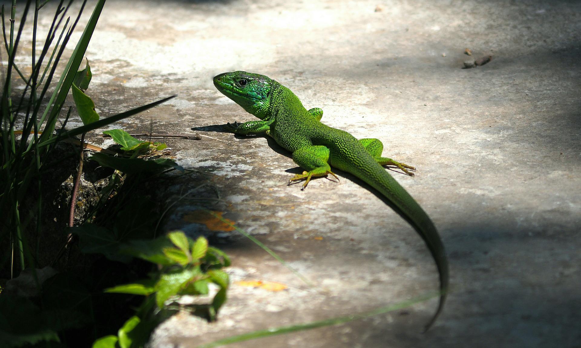 lizard-2305160_1920 pixabay.jpg