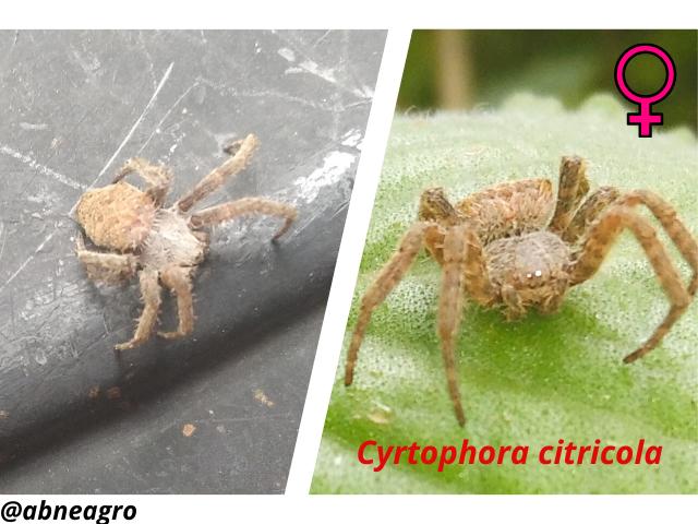 Araneidae(8).png