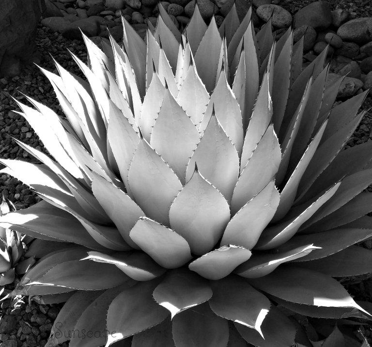 cactus bnw contest (1).jpg