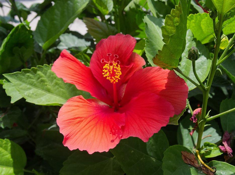 P7170317-red-hibiscus-flower.jpg