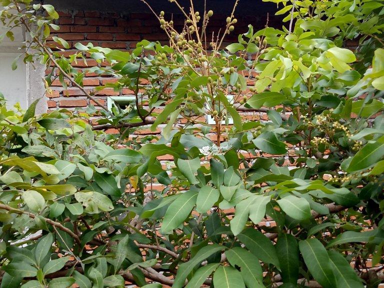 Dragon Eye Fruit Plant.jpg