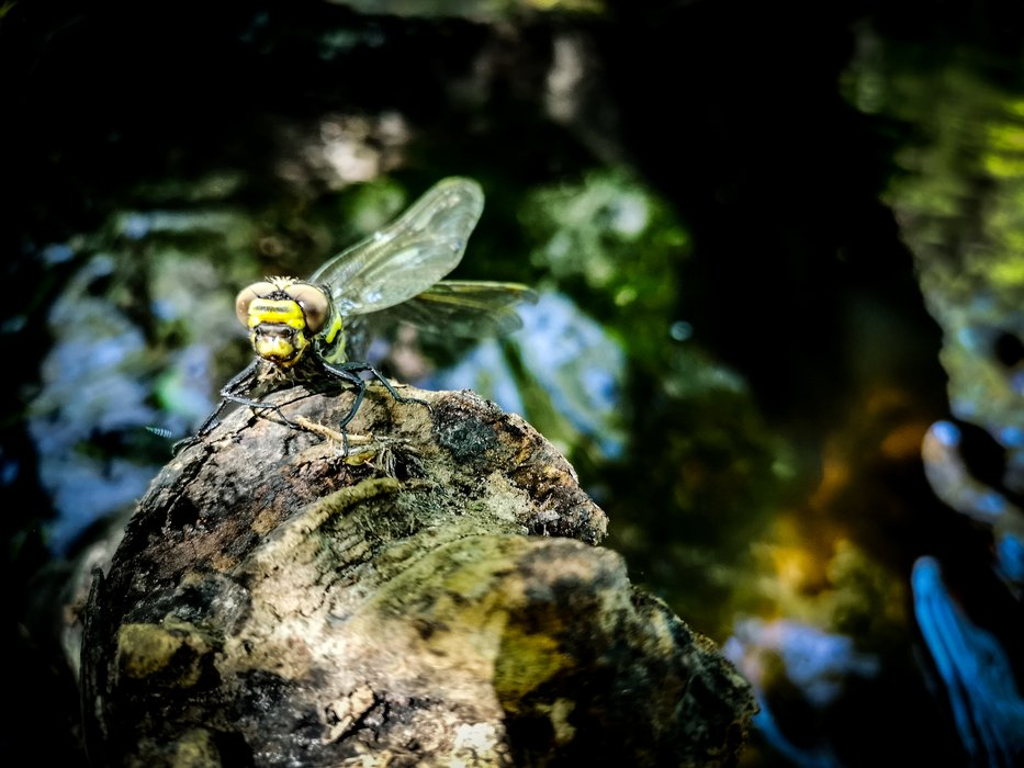 dead-dragonfly-in-river-buka.jpg
