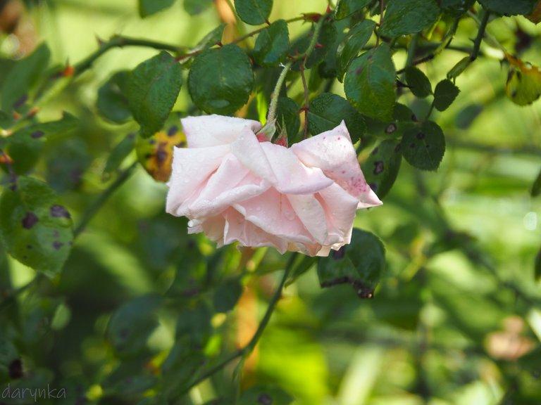 білі троянди 3.jpg