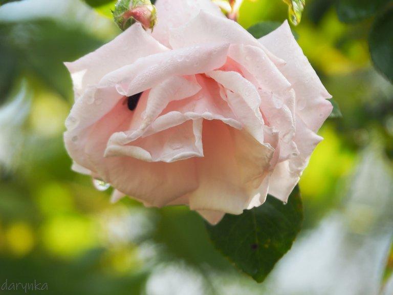 білі троянди 2.jpg