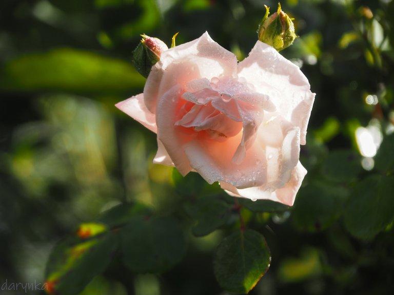 білі троянди 1.jpg