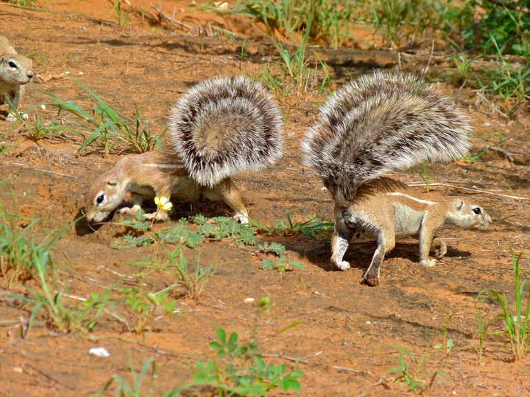 Ground_Squirrels_Xerus_inauris_7011271439.jpg