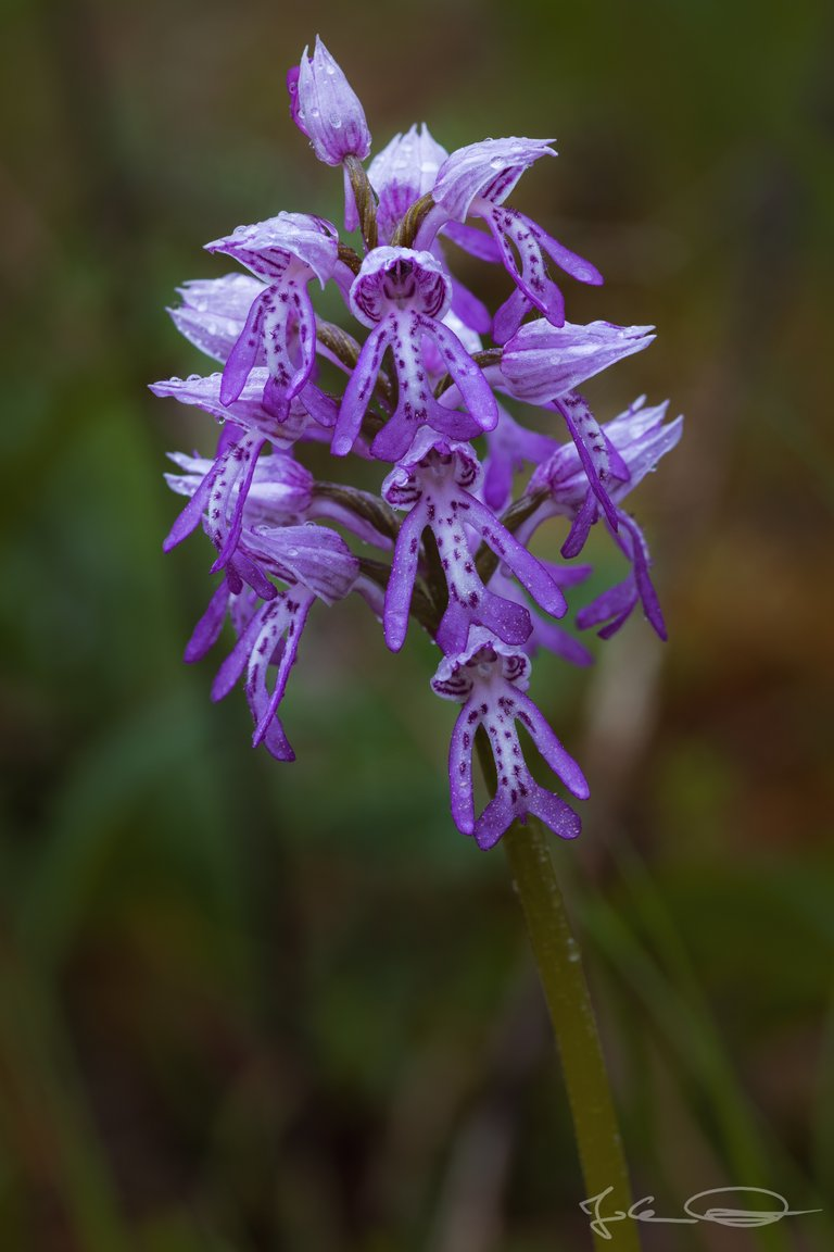 Hive AlphabetHunt Orchis militaris - the Military Orchid