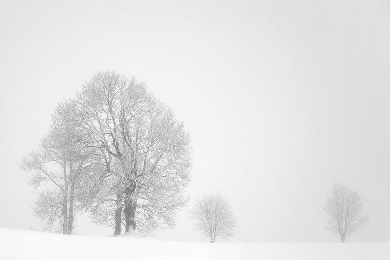 Trees on White - white fog, white snow, silhouettes of trees