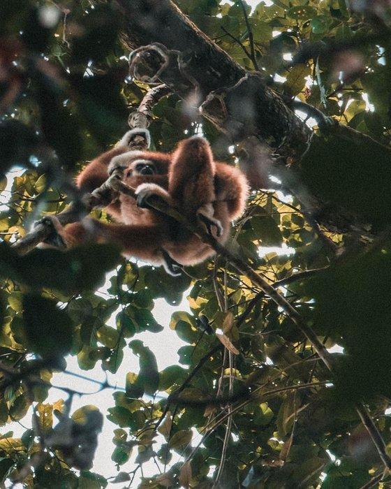 monkey sumatra
