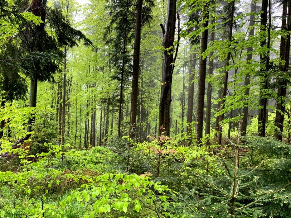 Las pod Łamaną Skałą