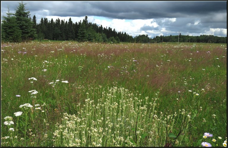triange of pussytoe blooms point to waves of pink in wildflower meadow and spruce trees.JPG