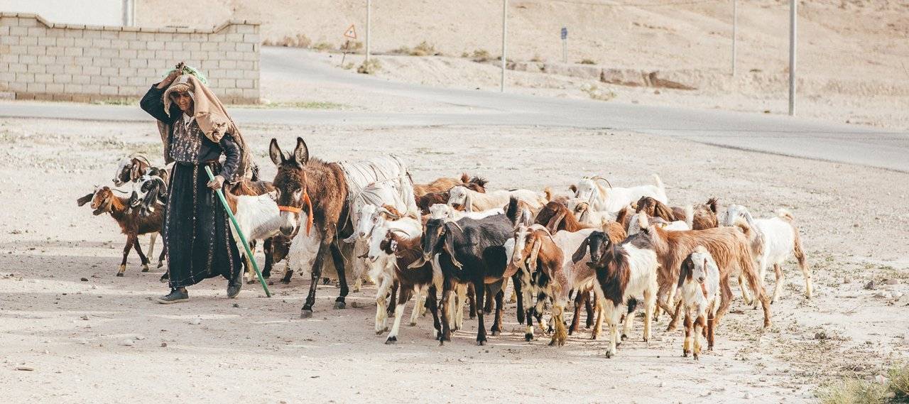 A local goatherd moves her goats