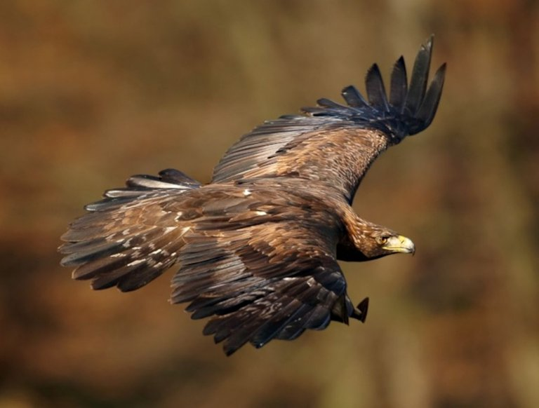 Golden Eagle czech republic Aquila chrysaeto credit Martin Mecnarowski 1.2.jpg
