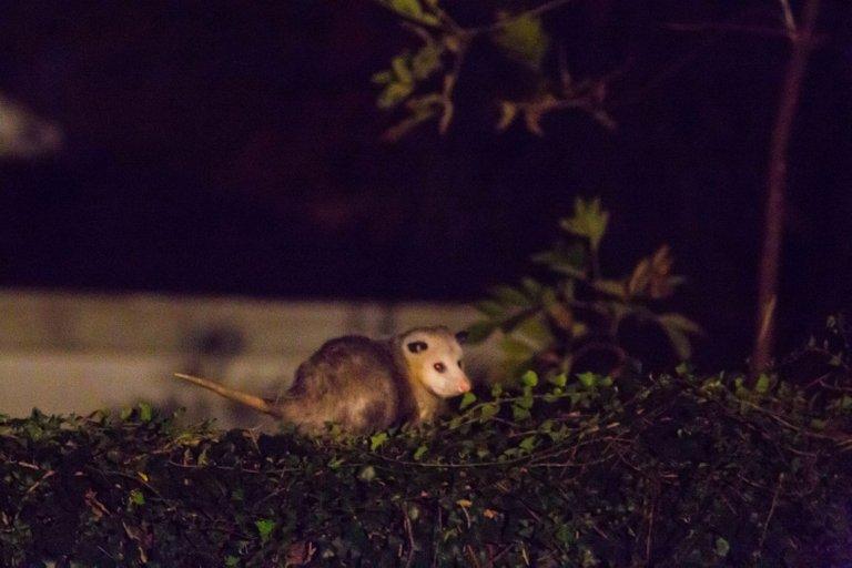 Virginia opossum Melissa McMasters from Memphis, TN, United States 2.0.jpg