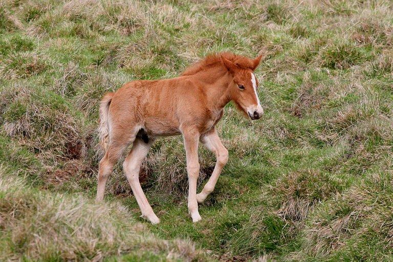 icelandic foal Elma from Reykjavík 2.0.jpg