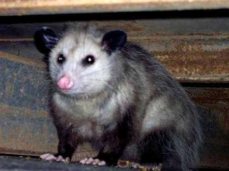 Opossum 450 Uris at english wikipedia publid.jpg