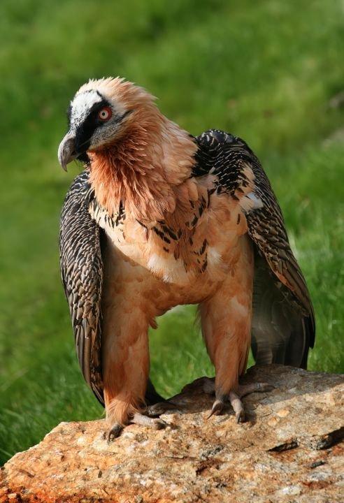 bearded vulture Bartgeier Gypaetus barbatus front Richard Bartz Munich aka Makro Freak.jpg