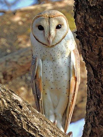 owl Eastern Barn Owl Tyto javanica stertens Raigad Maharashtra Shantanu Kuveskar 4.0.jpg