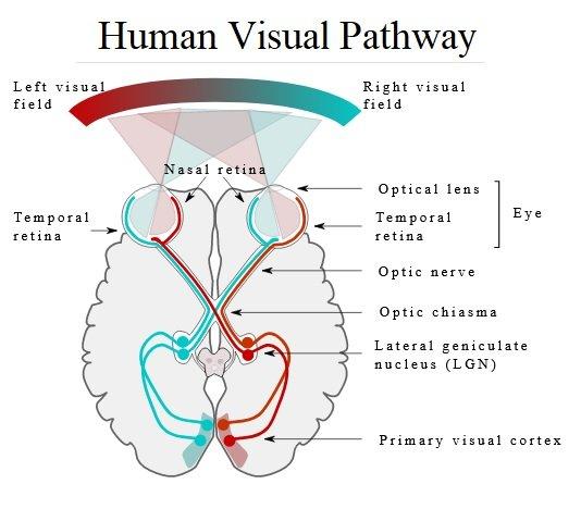 Human Visual Pathway.jpg