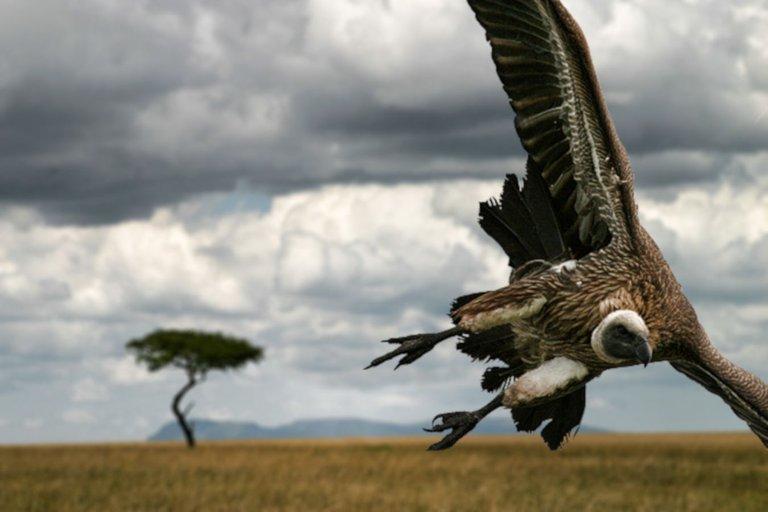 Vulture swooping Dmitri1999 at en.wikipedia link necessay 3.0.jpg