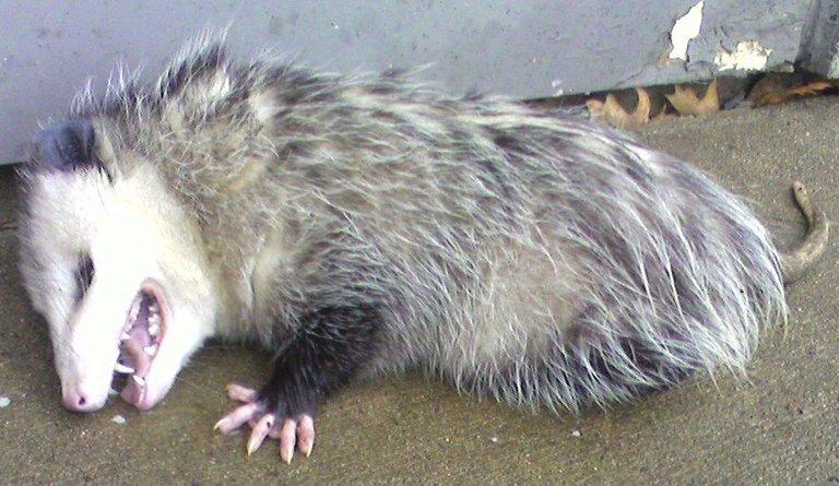 Opossum2 playing dead hand Johnruble public.jpg