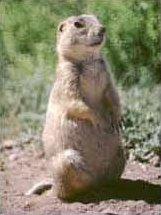 Prairie dog gunnison's nps punlic.jpg