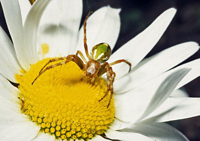 Diaea_sp.-Flower_Crab_Spider_(NZAC06001301).jpg