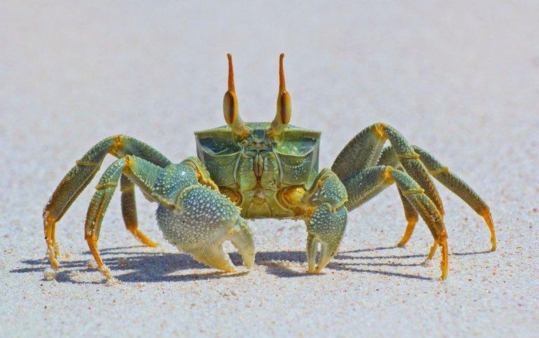 Horneyed ghost crab credit https 500px.com JohnDickens 3.0 link.jpg