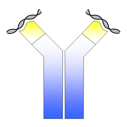 ANA dsDNA antibody credit Simon Caulton 3.0.png