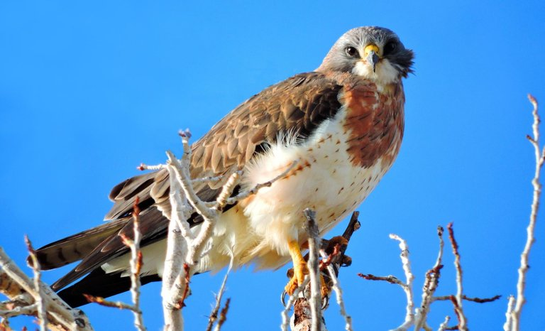Swainson's Hawk Great Sand Dunes National Park and Preserve 2.0.jpg