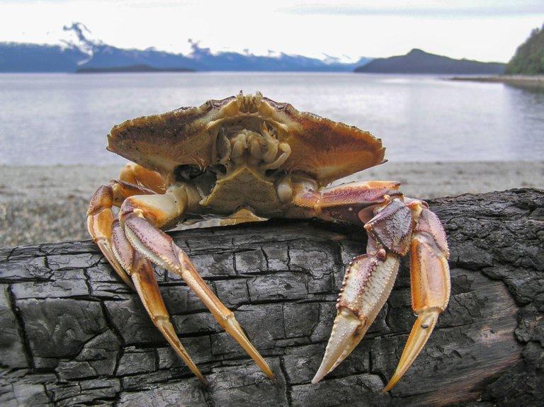 Dungeness_Crab_47 credit Gillfoto 4.0.jpg