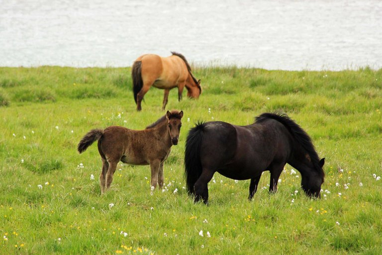 Icelandic horses with foal Andrea Schaffer 2.0.jpg