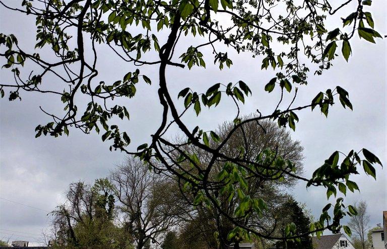 treetuesday5-4-2021-16ok.jpg