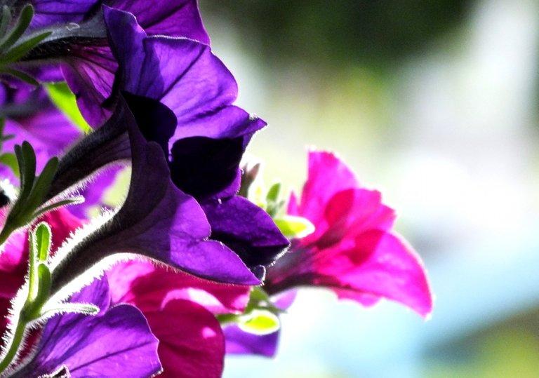 0068-Petunias.jpg
