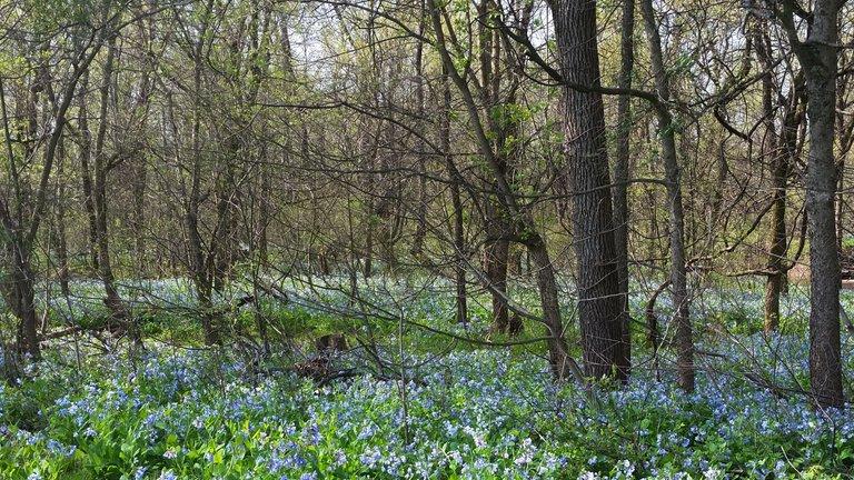 Blue bell forest.jpg