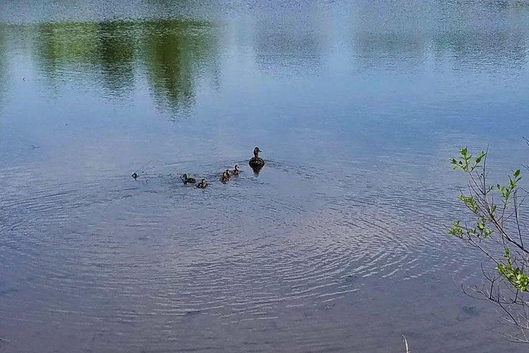 20210502_123959 baby ducks.jpg