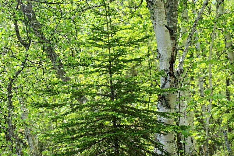 Maine birch.JPG