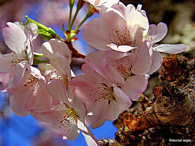 cherries on the tidal basin.jpg