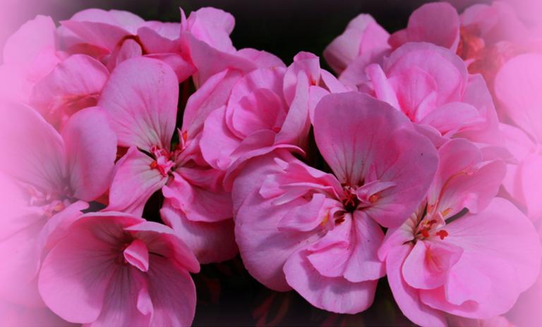 flowers geranium.png