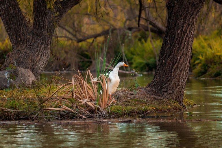 Pato en el lago.JPG