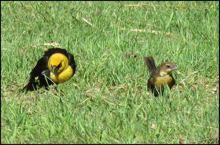 male and female yellow headed blackbirds.JPG