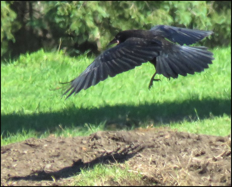 close up raven flying low close to ground.JPG