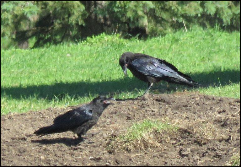 close up pair of ravens 1 beak open 1 looking at ground.JPG